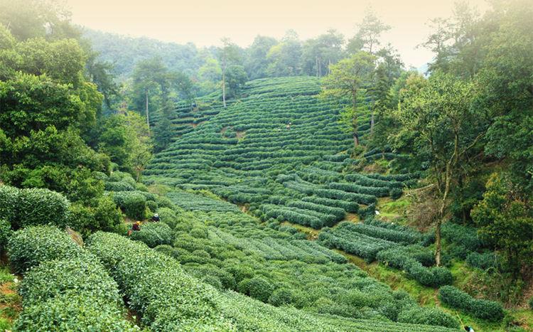 Dragonwell Tea Garden, Zhejiang Province