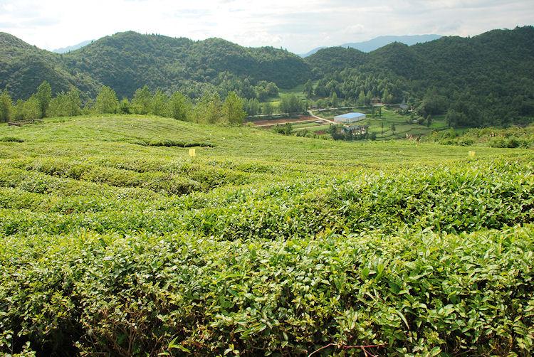 Maofeng Tea Garden, Guizhou Province