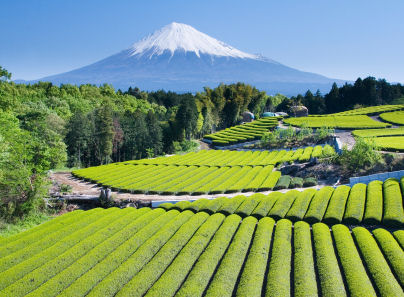 Japanese green tea fields with Mount Fuji in distance. © Craig Hansen, iStockphoto