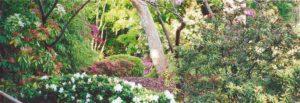 View of azalea in bloom from Maple Lane