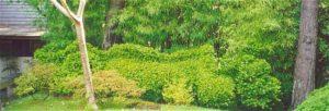 New Dragon Hedge of Japanese Tea Garden