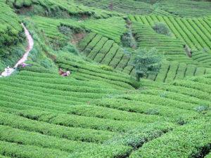 Organic tea garden in Anhui province
