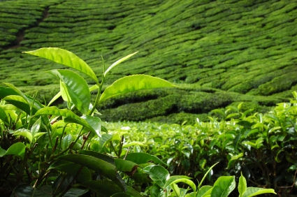 Tea leaf with plantation in background, � Khoo Eng Yow 2008 iStockphoto
