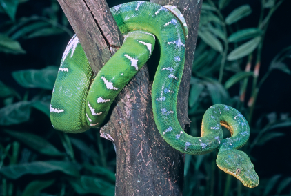 Emerald tree boa coiled in tree © 2008 by John Pitcher  iStockphoto