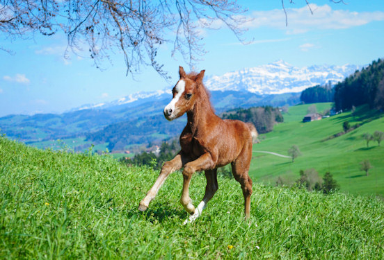 Miniature horse foal running freely in a mountain field © Julesru 2013 iStockphoto