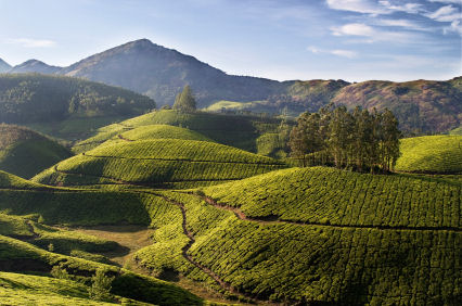 Meandering paths through tea plantations of Munnar, India.  Photo � Niraj Kedar, iStockphoto
