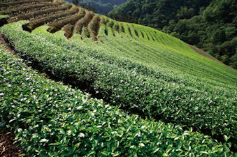Tea Cultivation in Taiwan © Chen Chih-Wen, iStockphoto