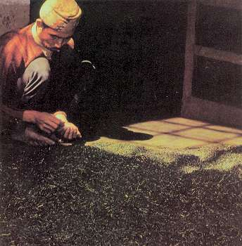 A preliminary stage in processing tea in Darjeeling involves sorting freshly picked leaves by hand to obtain the desired quality.