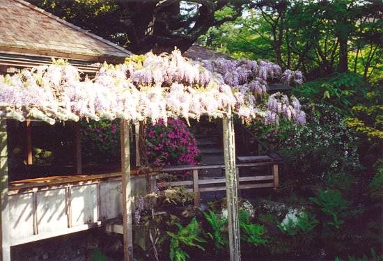 View of Tea House overhang laden with Japanese wisteria in full bloom