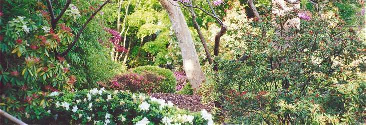 View from Maple Lane of azalea in bloom and lush vegetation