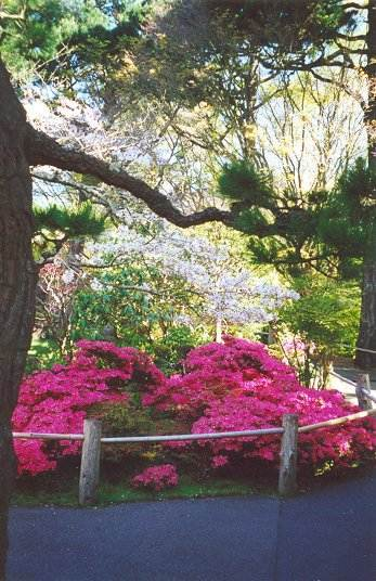 Azaleas and cherry blossoms along pathway