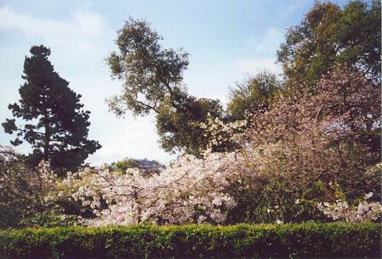 View of cherry trees in various stages of bloom