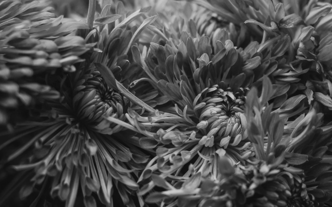 Chrysanthemum flower, Photo by Richard Harris on Unsplash