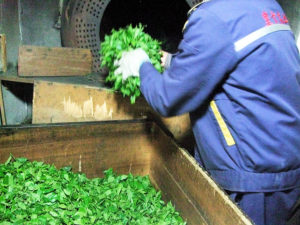 Next comes de-enyzming, which is sometimes done by hand, moving leaves over a pan