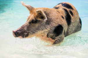 Brown and black pig wading in the ocean, photo by Forest Simon on Unsplash